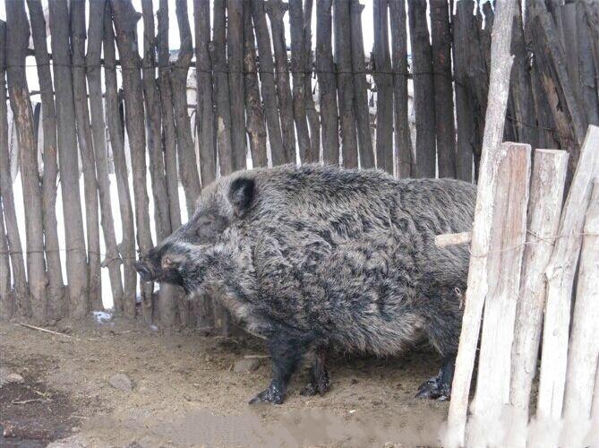 邱县纯种一代野猪苗价格多少钱一头野猪养殖场