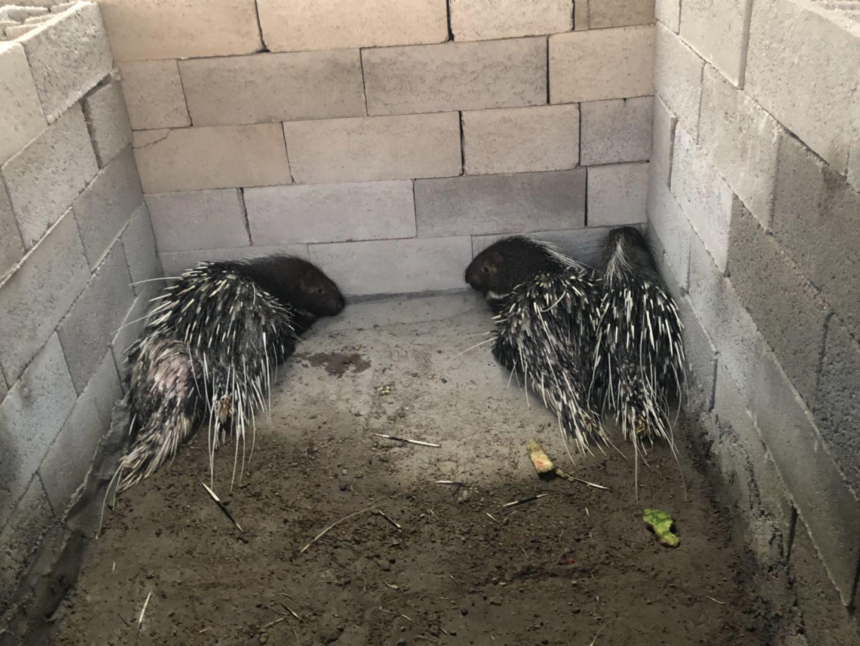 凌海豪猪养殖多少钱一斤 怎么做