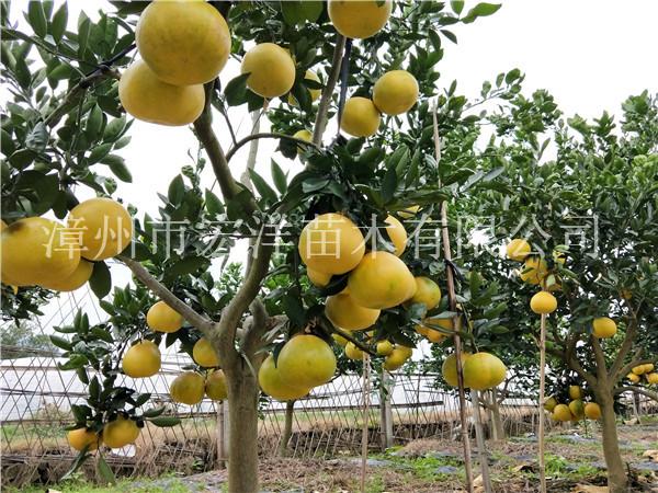 锦州红宝石柚子批发价格