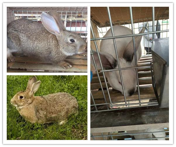 馆陶比利时兔市场价格哪里便宜
