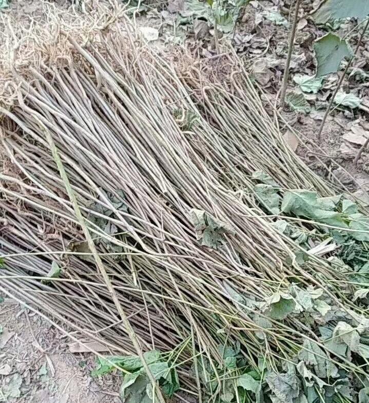 石家庄楸树苗种植技术