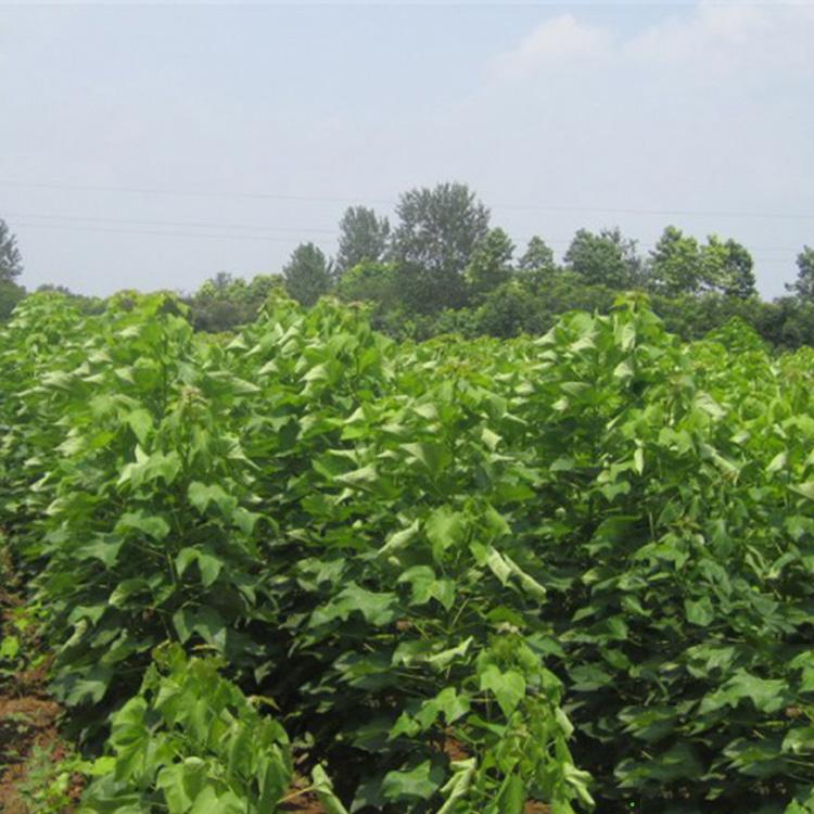 北京楸树苗种植技术