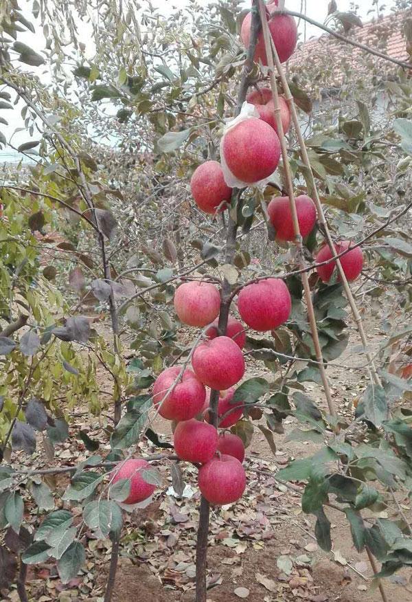 葡萄怎么种植-华夏红苗木