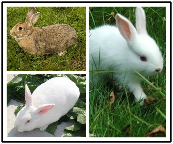 邱县成年新西兰兔最专业养殖场