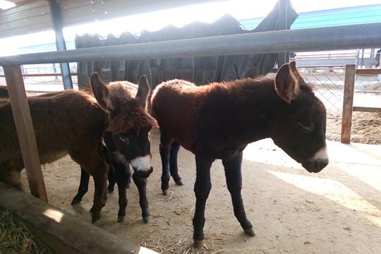 洛南肉驴养殖基地断奶的小母驴苗
