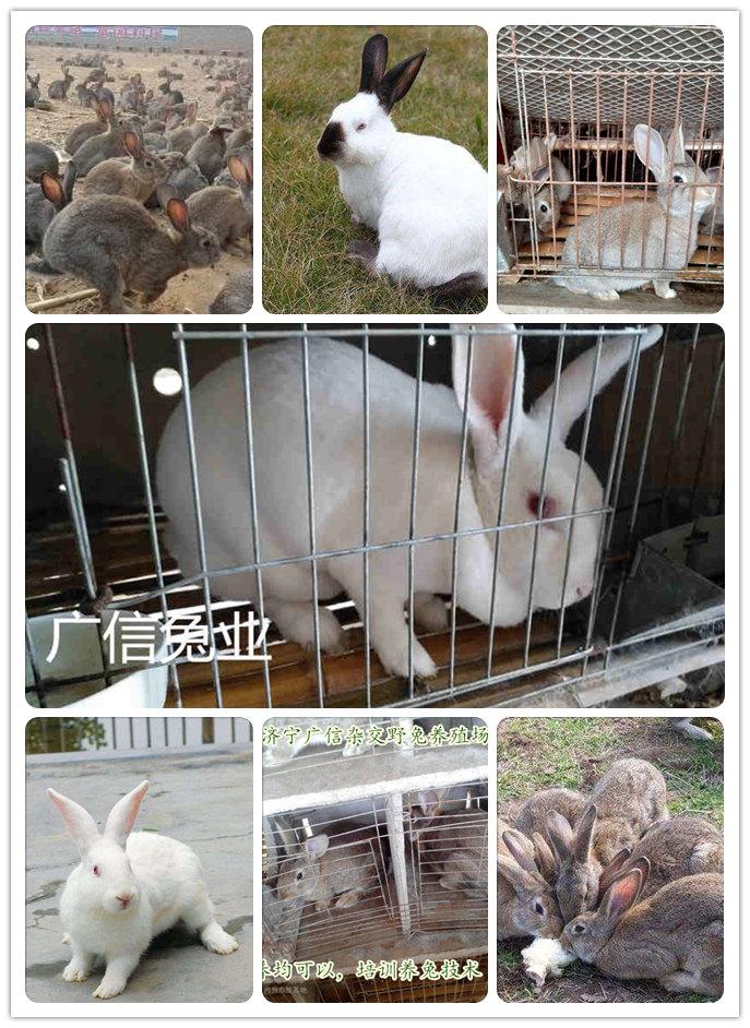 魏县肉兔种兔价格包技术,包回收