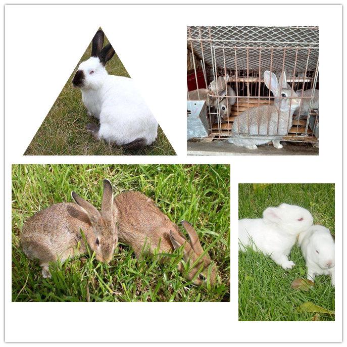 临漳伊拉兔种兔价格怎么饲养