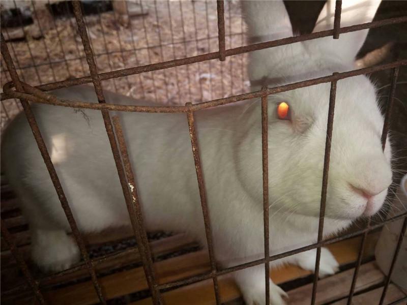 延川肉兔种兔价格养殖兔子有国家