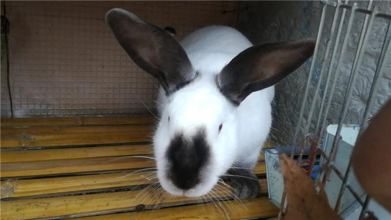 临漳灰麻色兔子价格最近肉兔价格