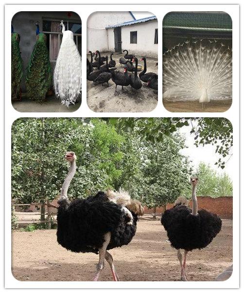滑县成年鸵鸟养殖场推荐
