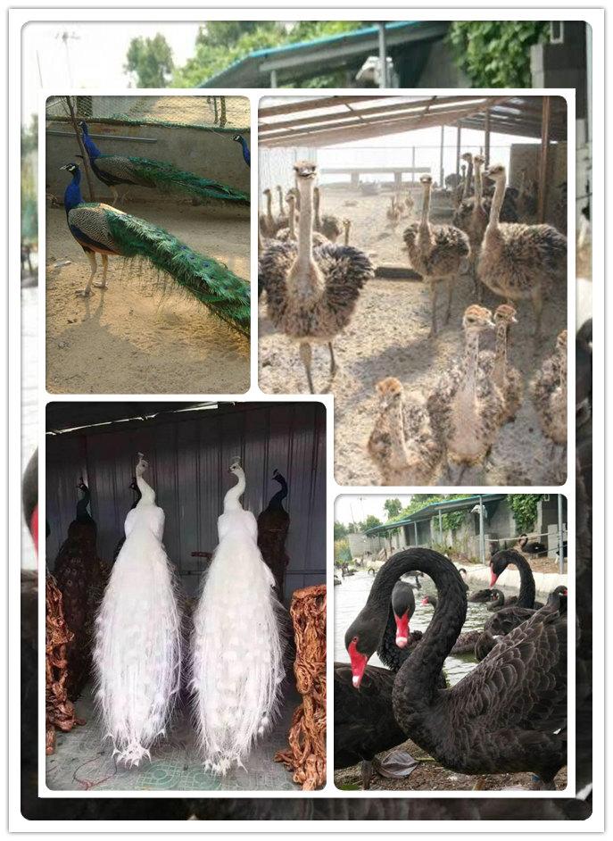 邱县商品鸵鸟价格养殖场